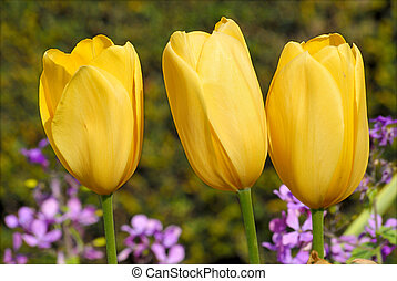 three yellow tulips
