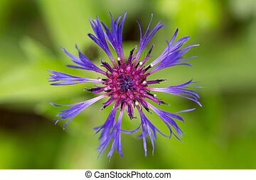 macro of violet blue montane knapweed bloom (Centaurea montana)