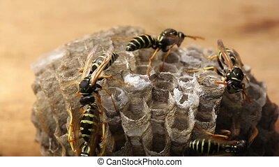 Macro of wasp (Hymenoptera), timelapse