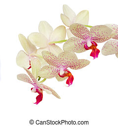 macro of white with violet orchid flowers - macr of white ...