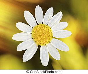 Macro of wild daisy in the field