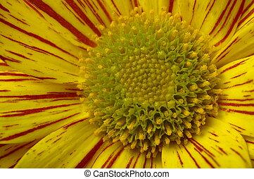 Macro of yellow daisy