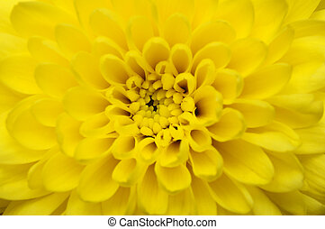 Macro of yellow flower aster - Close up of yellow petals, ...