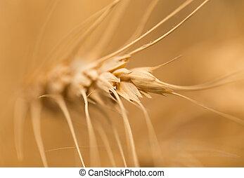macro, orelha, wheat.