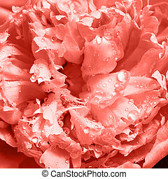 Macro photo of a beautiful tender petals of peony with drops of water. Natural floral background in a color of the year 2019 Living Coral pantone .