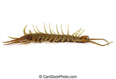 Macro Photo of a Centipede