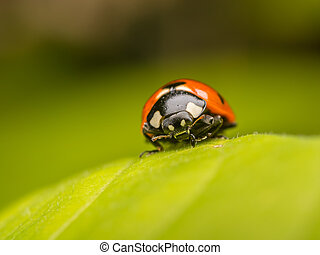 Ladybug - Macro Photo Of A Ladybug On A Leaf