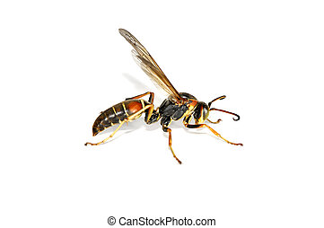 Wasp - Macro Photo of a Wasp