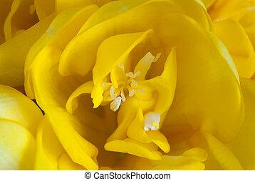 Macro photo of blooming yellow freesia