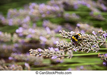 Macro photo of bumble-bee and purple lavender flowers