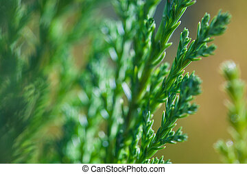 Macro photo of green branches of Juniper evergreen shrub plant with brown background