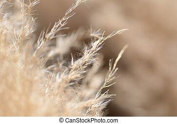 Macro photo of Pampas Grass. Photograph was taken in Fall.