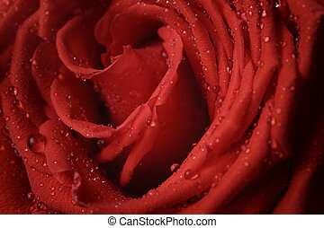 macro photo of red rose with water drops