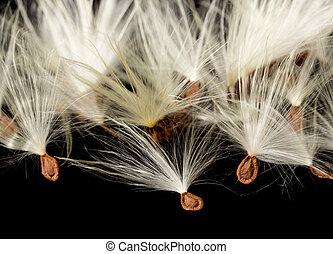 Macro photo of swamp milkweed seed pod