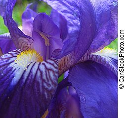 macro photo with the purple background of petals of the iris flower