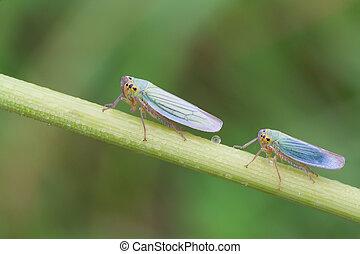 Cicadella viridis - macro photography of Cicadella viridis,...