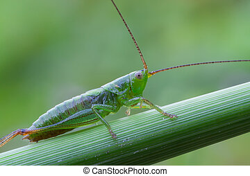 green bush cricket