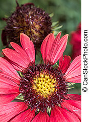 Scarlet daisy flower in summer time