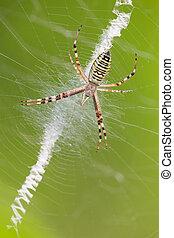 Argiope bruennichi - macro photography of wasp spider...
