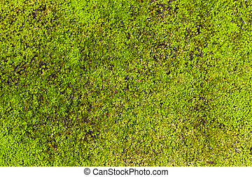 moss background - macro picture  of tropical moss background