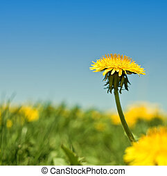 macro, pissenlits, mauvaises herbes