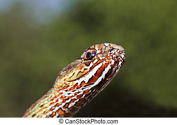 macro portrait of colorful eastern montpellier snake