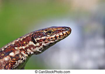 macro portrait of colorful wall lizard ( Podarcis muralis )