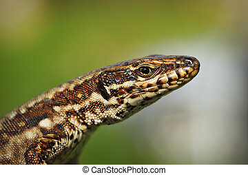 macro portrait of common wall lizard ( Podarcis muralis )...