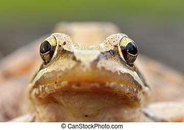 macro portrait of european grass frog