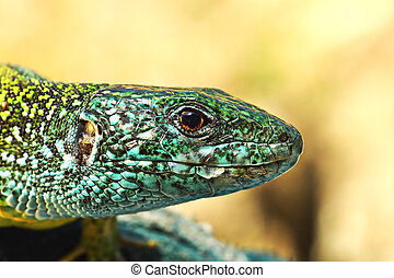 green lizard colorful male - macro portrait of green lizard...