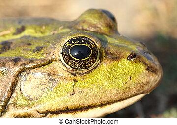 macro portrait of marsh frog