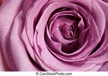 macro, pourpre, rose