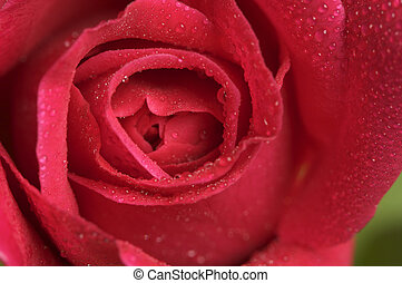 Macro Red Rose Blossom