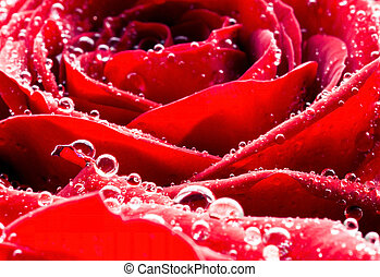 Macro red rose with dew drops