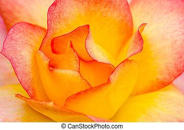 Macro Rose Blooms in Garden - Macro shot of inside of pink...