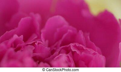 macro, rose, pivoines