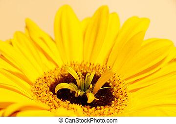 Macro shooting of bright yellow daisy gerbera.