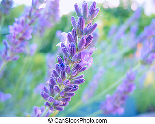 lavender  - macro shot of a beautiful lavender blossom