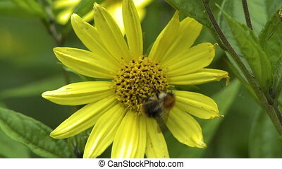 Macro shot of a bee on a yellow daisy