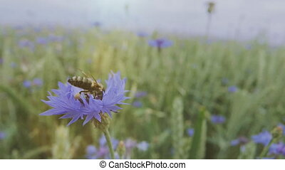 macro shot of a bee pollinating a blue cornflower wildflower in the summer field without people Close up view slow mo video in 4K on UHD camera