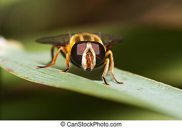 Macro shot of a hover fly on a leaf.