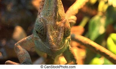 Macro Shot of a Veiled Chameleon's Eyes