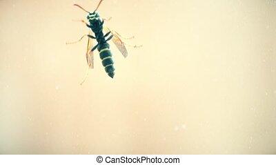 Macro shot of a wasp crawling on window glass