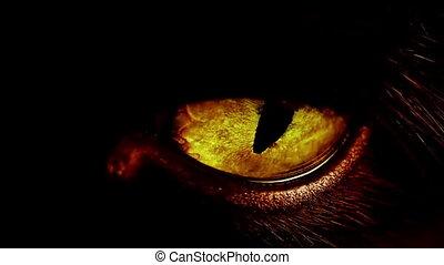 Macro shot of a yellow cat eye. - Macro shot of a dilating...