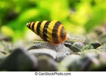 Macro shot of assassin snail in aquarium. Anentome helena.