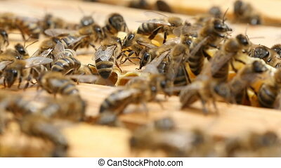 Macro shot of bees cleaning the wooden surface of a beehive in a summer day