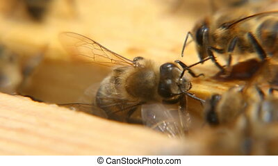 Macro shot of bees seeking something the wooden surface of a beehive in a summer day