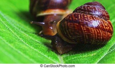 Macro shot of common snails on the leaf. Helix pomatia snails.