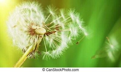 Macro Shot of Dandelion being blown in super slow motion.