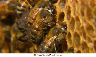 Macro shot of honeybees on their honeycomb - Extreme close...